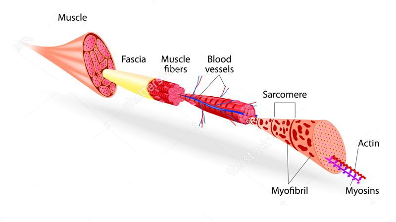 La struttura muscolare e la contrazione muscolare