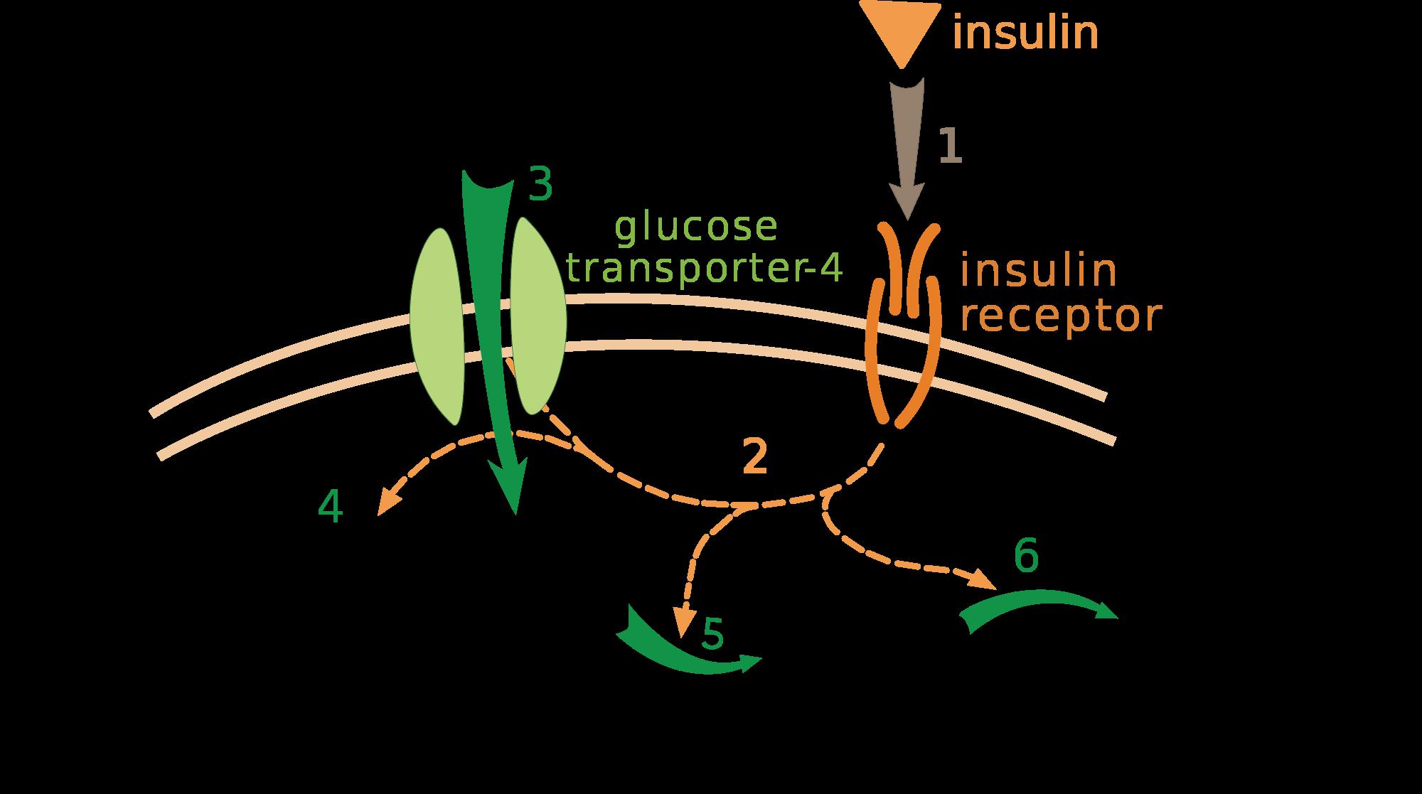 I Trasportatori del Glucosio (GLUT)