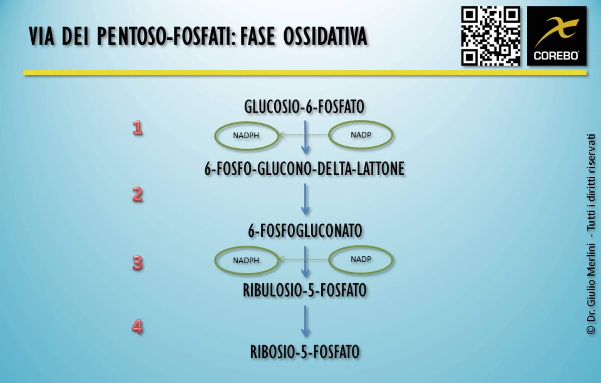 ciclo pentoso fosfati
