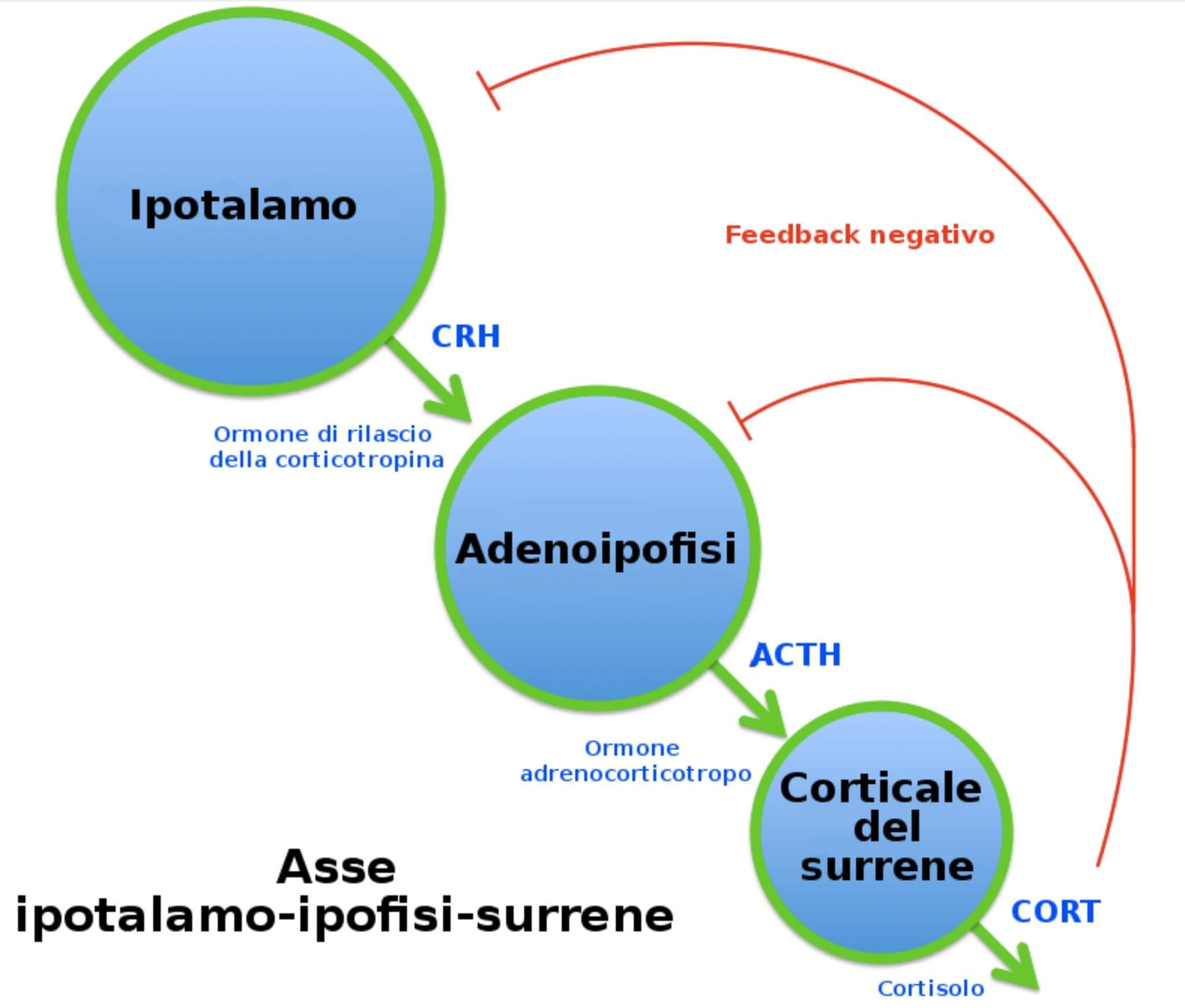 ACTH, esercizio fisico e asse ipotalamo-ipofisi-surrene