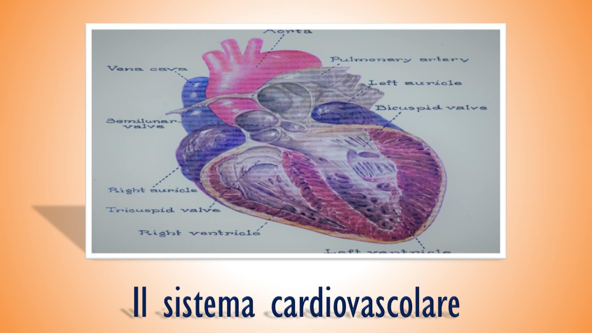 il sistema cardiovascolare