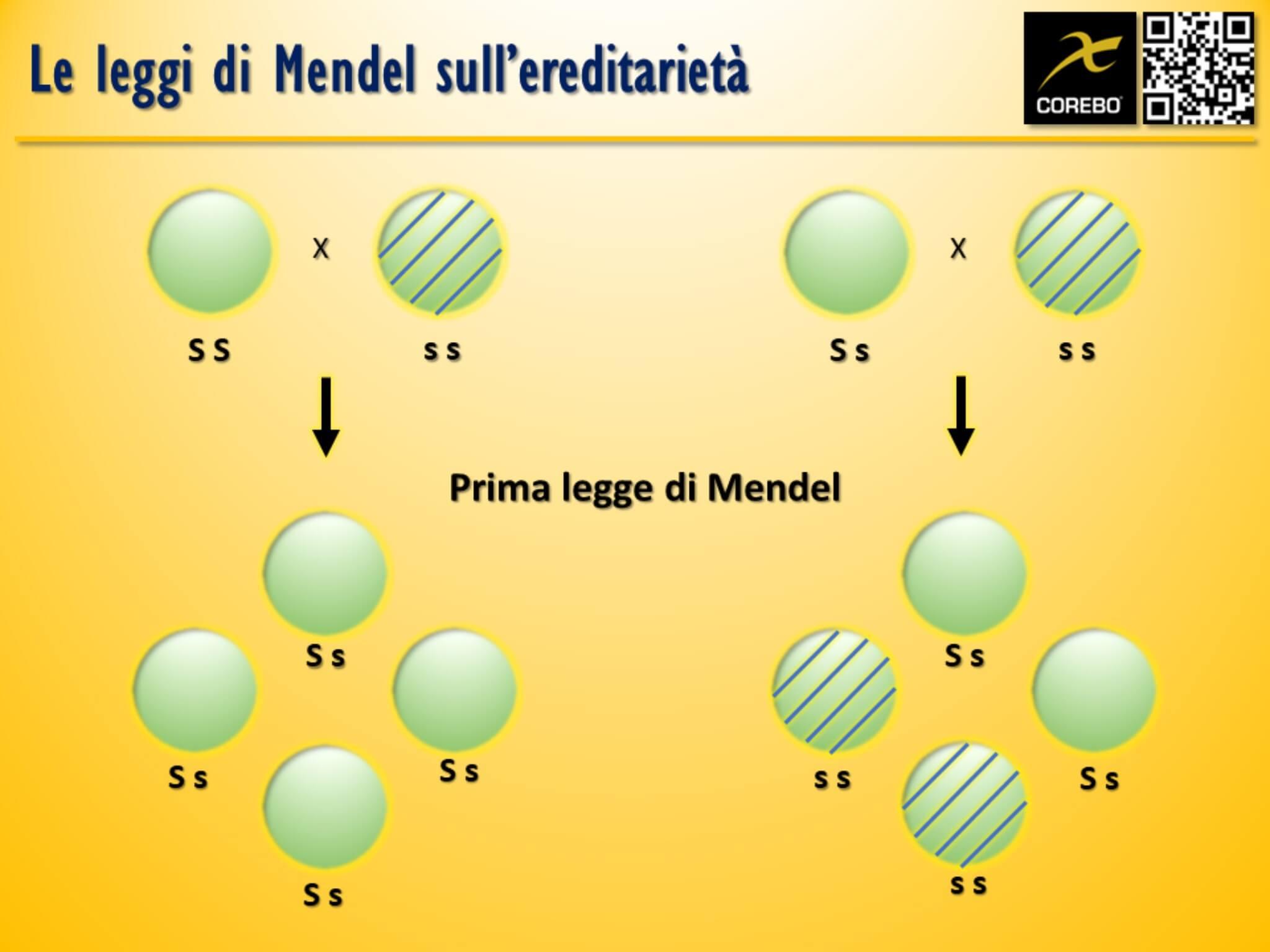 Leggi di Mendel - Cosa sono e cosa servono?