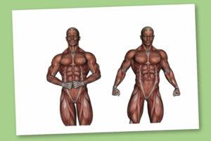 La classificazione dei Muscoli – Scheletrico – Cardiaco – Liscio – Corebo(R)