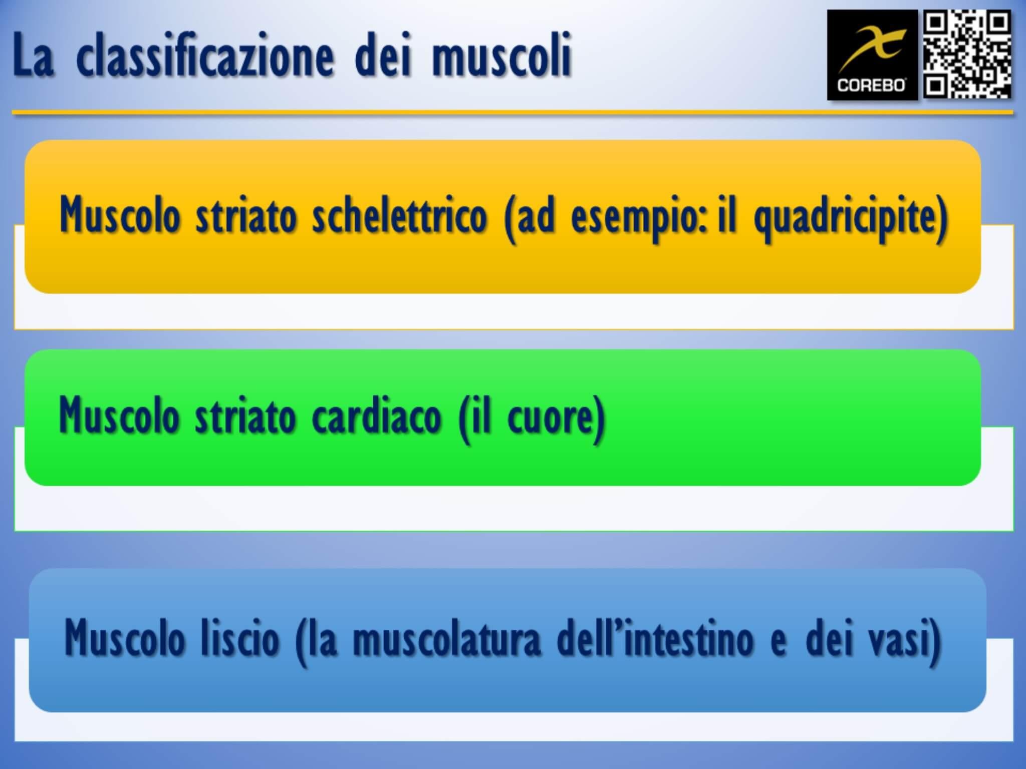 la classificazione dei muscoli