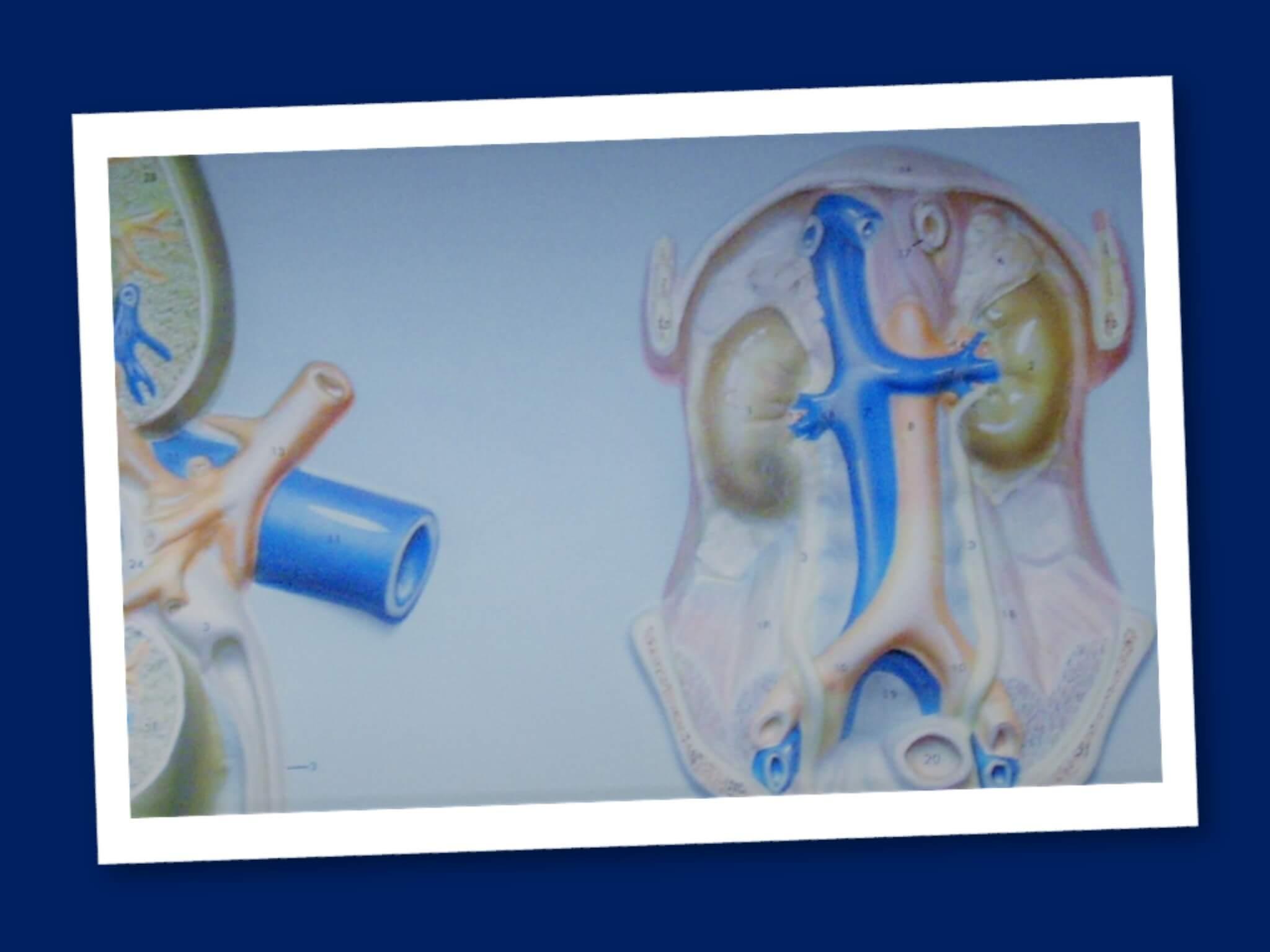Sistema renina angiotensina: la regolazione della pressione