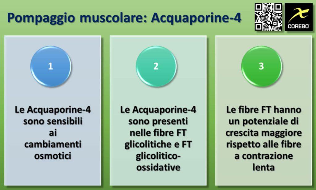 Ruolo delle Acquaporine-4 nel pompaggio muscolare