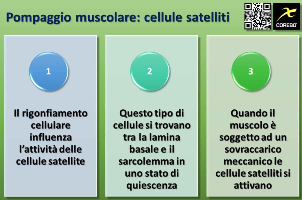 Il ruolo delle cellule satelliti nel pump muscolare
