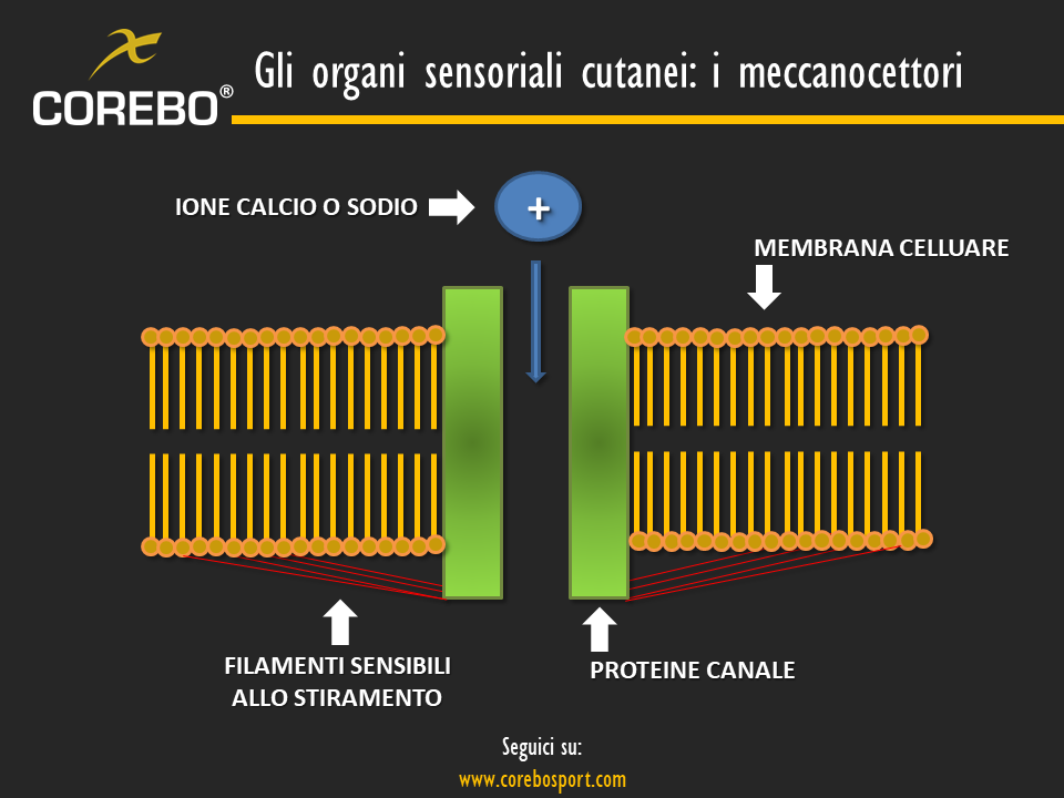gli organi sensoriali cutanei