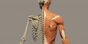 Il sistema muscolo-scheletrico:  guida per studenti