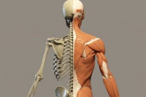 sistema muscolo scheletrico – Corebo
