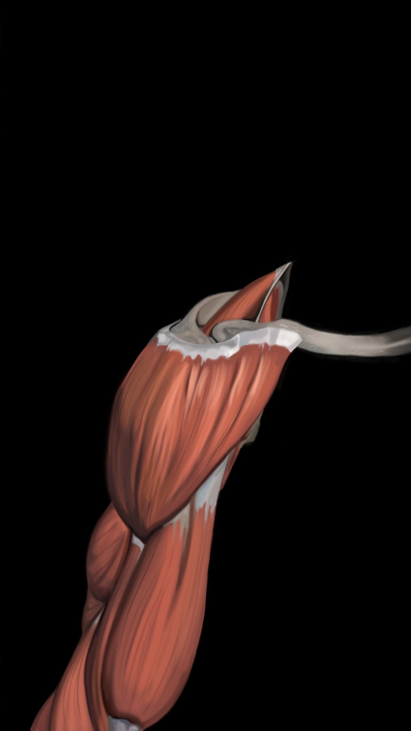 Muscolo deltoide